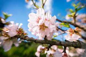 Mandelblütenblütenbaum mit Himmel