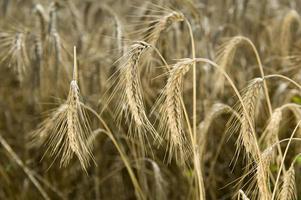 goldener Weizen auf dem Feld foto