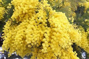 Mimose foto