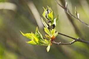 Nahaufnahme Knospen Flieder im Frühjahr