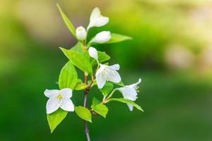 Jasminblüten auf dem Ast, Makrofoto mit selektivem Fokus