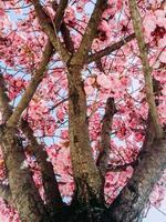rosa Trompetenbaum