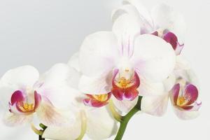 Orchidee, Orchidee