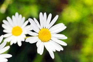 grünes Gras und Kamille foto