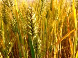 Weizenfeld in den Abruzzen, Italien