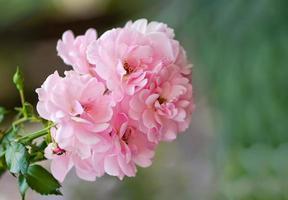 Nahaufnahme der Rosenbuschblume im Garten. weicher fokus