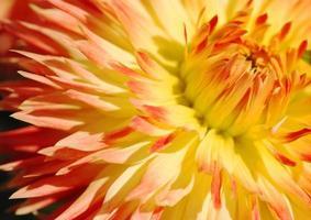 gelbe Dahlie Blütenblatt Nahaufnahme foto