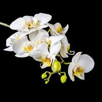 schöne blühende Zweig weiße Orchidee mit Tau, Phalaenopsis foto