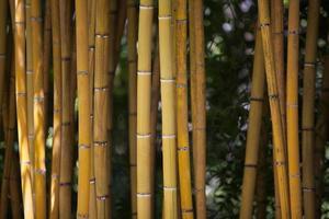 Detail der gelben Bambusstöcke.