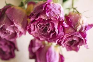 geschlossene getrocknete rosa Rosen