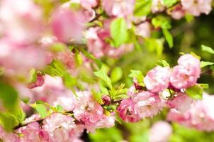 rosa Blume einer orientalischen Kirsche