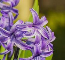 Hyazinthenblüte hautnah foto