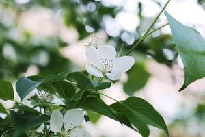 blühender Apfelbaumzweig selektiver Fokus weiche Unschärfe getöntes Foto