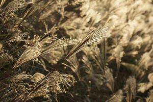 Herbstgras Miscanthus foto