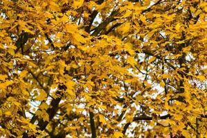 leuchtend gelbes Laub eines Ahorns
