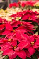 Weihnachtssternblüten mit hellen Hochblättern