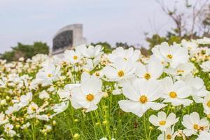 weiße Kosmosblumen