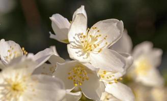 Jasmin-Blume