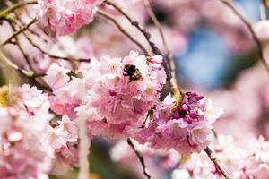 schöne Kirschblüte, rosa Sakura-Blume foto