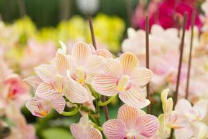 rot-orange Spathoglottis plicata gemahlene Orchideen
