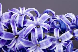 Blume der lila Hyazinthe lokalisiert auf grauem Hintergrundmakro