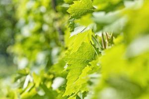 grüne Blätter von Trauben