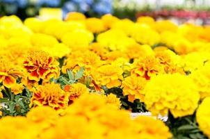 Gewächshaus, Blumen in voller Blüte foto