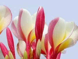 Frangipani Blumen foto