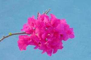 Zweig der rosa Bougainvillea-Blume