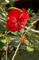 Tau auf roter Hibiskusblüte mit Blättern