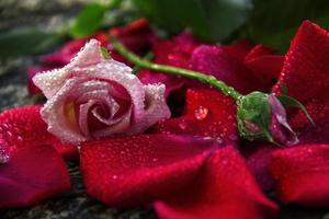 rosa Rose und Liebe, Rosenknospe, Rosenblume, rosa Farbe,