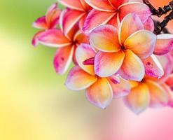 Frangipani Plumeria Blumen Grenze Design foto