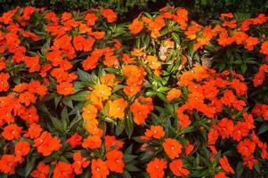 orange Mohnblumen foto