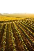 Weinberg im Napa Valley foto