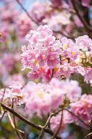 Nahaufnahme der rosa Trompetenblume