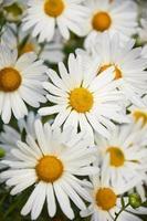 weiße Blüten der dekorativen Kamille wachsen