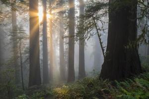 engelhafte Sonnenstrahlen durch Redwood-Bäume foto