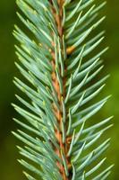 Zweig der Kiefer