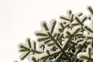 frischer Neuschnee auf Zweigen einer Kiefer