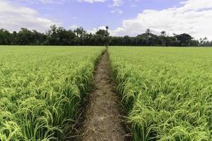 Reisfeld mit Weg und blauem Himmel, Suphan Buri, Thailand.
