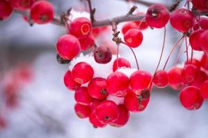 Beeren im weißen Schnee