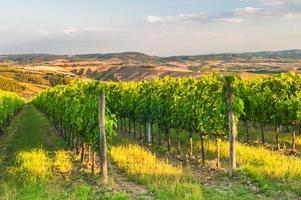 schöne Weinberge auf den Hügeln der friedlichen Toskana, Italien