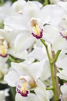 weiße Orchideen foto