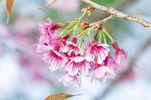 Sakura-Blume auf Hintergrund