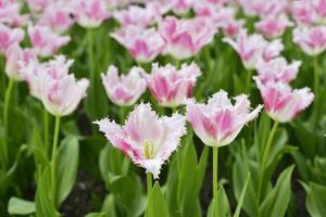 Sprigtime-Tulpen