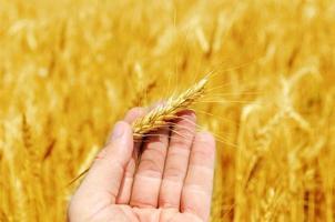 neue Ernte in der Hand über goldenem Feld