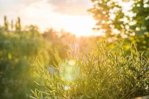 Lavendel bei Sonnenuntergang