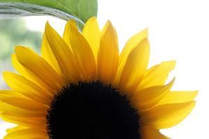 Teil der Sonnenblume mit Blatt foto
