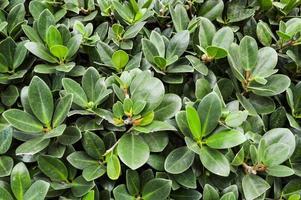 grüner Ficusannulata-Blütenbaum