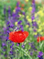 rote Mohnwildblumenfrühlingszeit foto